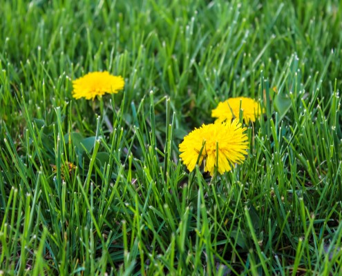 Lawn Weed Treatment